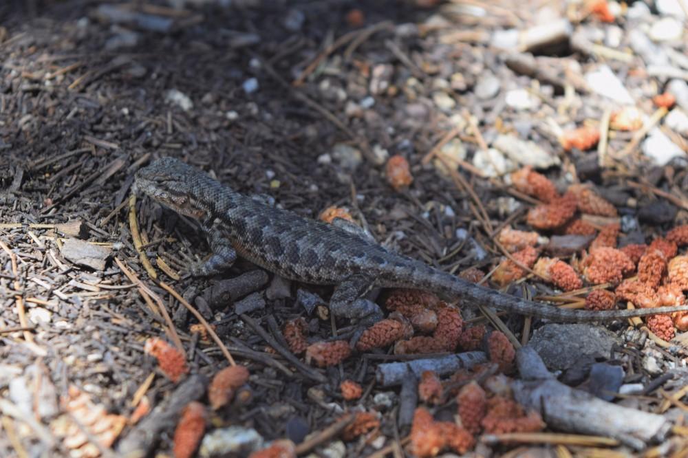 Southern Sagebrush Lizard -  Sceloporus graciosus vandenburgianus
